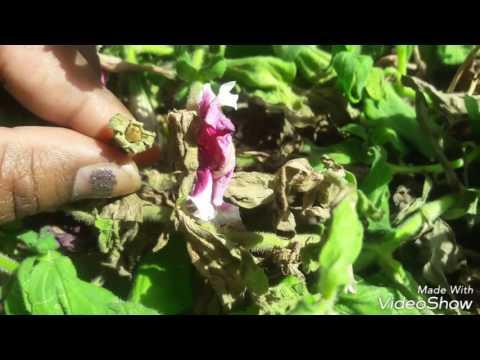 Collecting Petunia Seeds (hindi)