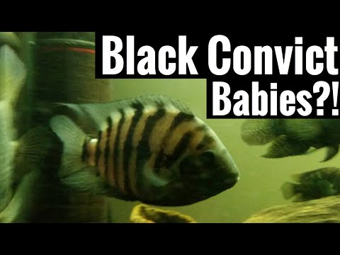 Black Convict Babies? What to Do?