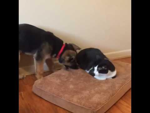 Cat Won't Get Off Dog's Bed