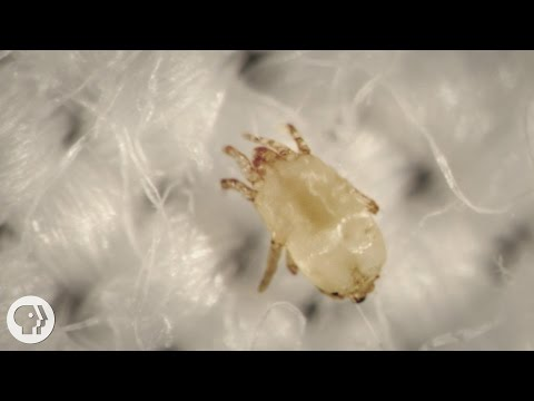 Meet the Dust Mites, Tiny Roommates That Feast On Your Skin  |  Deep Look