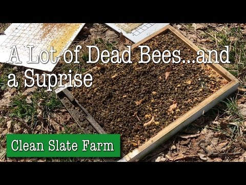 A whole lot of dead bees and a surprise.