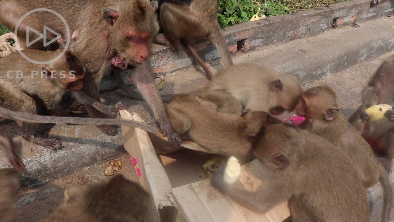 Hungry Monkeys get All-You-Can-Eat Banana Buffet / Feeding Frenzy