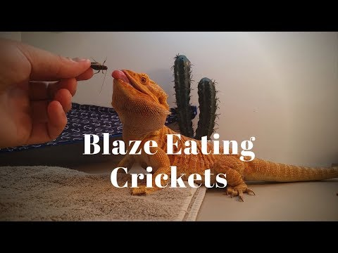 Bearded Dragon Owners // Blaze Eating Crickets.