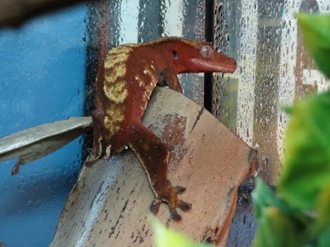 Lost Gecko!?!