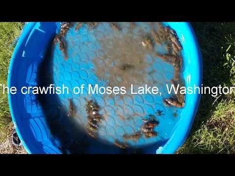 Crawfishing in Moses Lake, Washington
