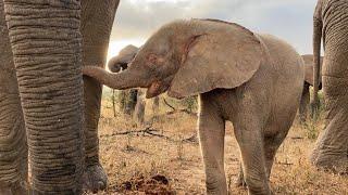 Autumn Walks with Friends - orphaned albino elephant calf Khanyisa's morning with the Jabulani Herd.
