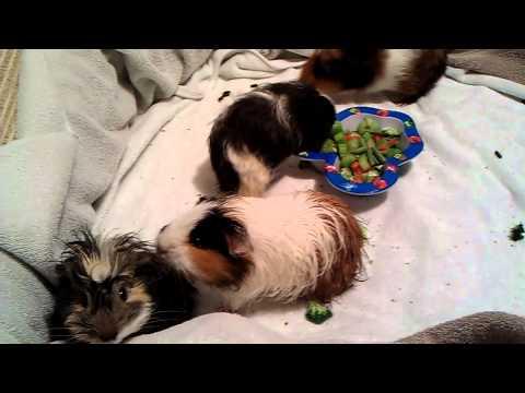 My guinea pigs; post 1st bath