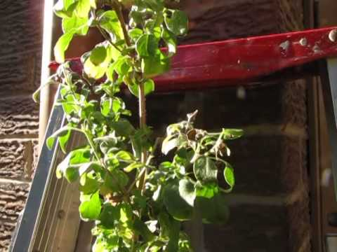 How to remove spider mites from your Tulsi plant - part 1 of 3