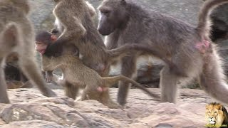 Baboon Trying To Steal Baby From Its Mother