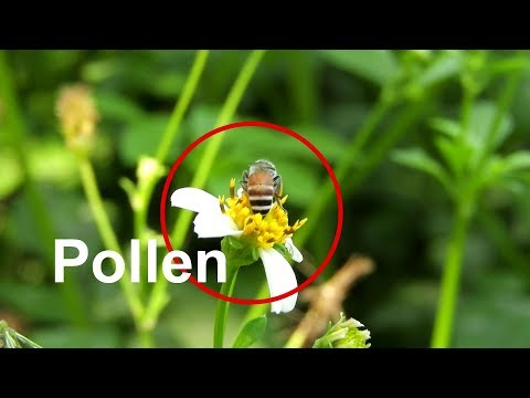 How the honey bees collecting pollen, nectar and water
