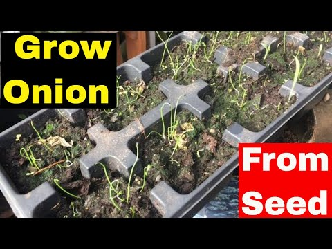 How to grow onion from seed