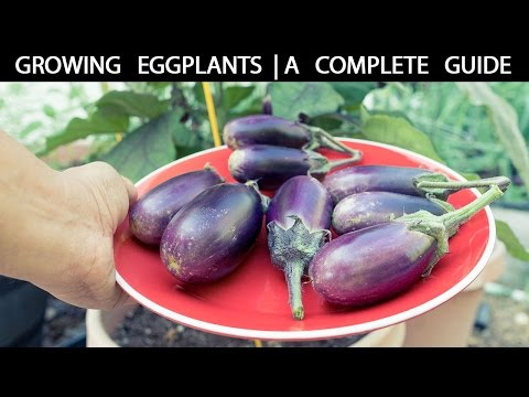 How to Grow Eggplants - The Complete Guide