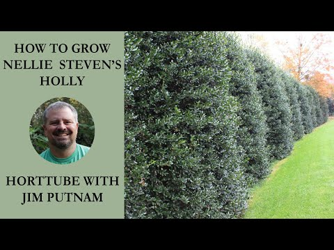 How to grow Nellie Steven's Holly with planting and care instructions