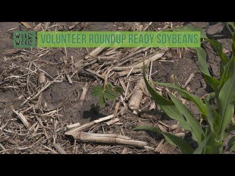 Weed of the Week #1048 Volunteer Roundup Ready Soybeans (Air Date 5-6-18)