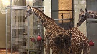 Meet the Newest Giraffe Herd Member, Ohe!