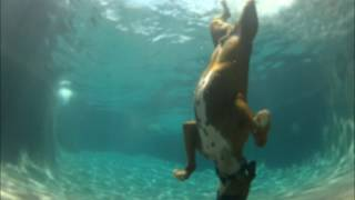 Pool diving Boxer dog, he swims under water!