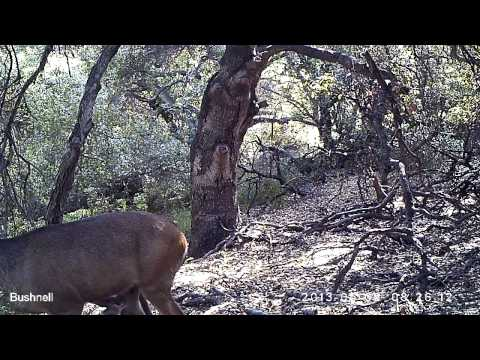 Griffith Park Momma Deer Calls Fawn 2013