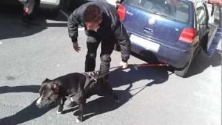 Pit Bull Terrier KIMBO - Tirando de un coche
