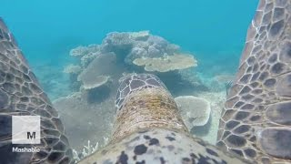 Chill turtle takes GoPro on a leisurely swim through Great Barrier Reef | Mashable