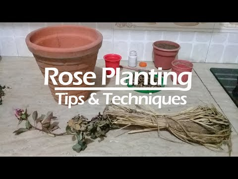 How to plant nursery bought Rose with 5 updates | Rose care | Rose growing tips and techniques