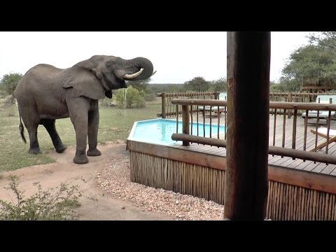 Angry Elephant Drinks From Hotel Pool