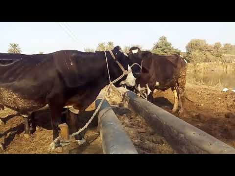 Dairy farming tips and tricks in Urdu/Hindi / Farming of vilayti cow / management and maintains