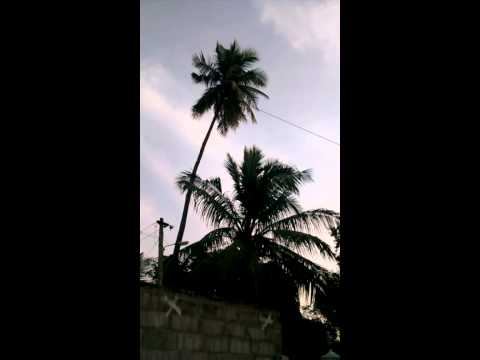 cutting tall coconut tree