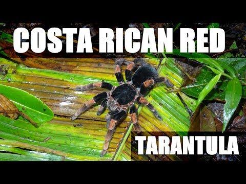 Finding Megaphobema mesomelas in Costa Rica