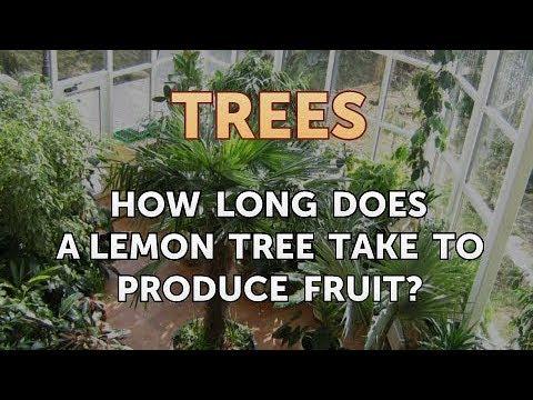How Long Does a Lemon Tree Take to Produce Fruit?