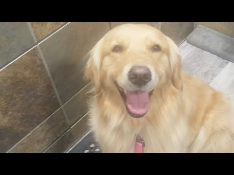 Tools For Grooming A Golden Retriever