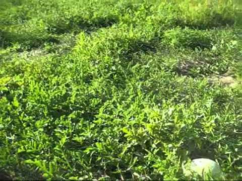GROWING ORGANIC HEIRLOOM WATERMELONS  SEEDS FROM BAKER CREEK
