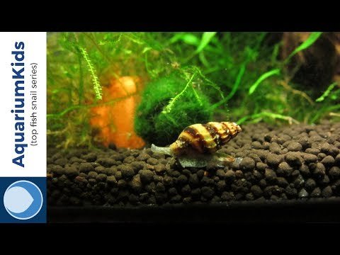 THE TOP 5 FRESHWATER SNAILS (4K UHD)