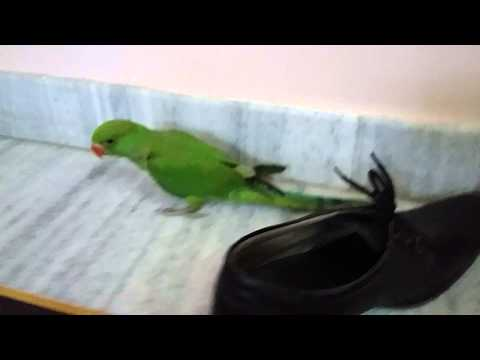 Indian parrot talking training