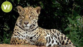 Secret Brazil: Jaguar, the king of the Pantanal   Animal documentary - Part 1/2