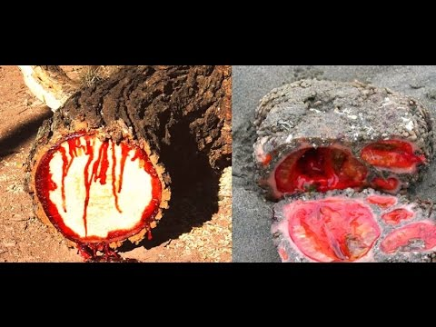 The Tree That Bleeds When You Cut It, Science Can't Explain