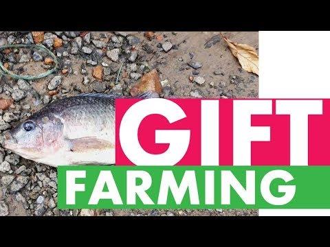 GIFT Tilapia Farming in Kerala | High Density RAS  | Cheranelloor Cochin Fish Farm Kerala