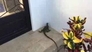 Iguana Wants to Come in the Villa