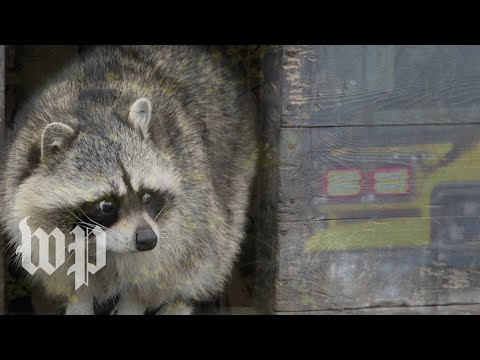 Stoned raccoon bemuses Indiana firefighters