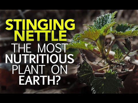 Stinging Nettle — The Most Nutritious Plant On Earth?