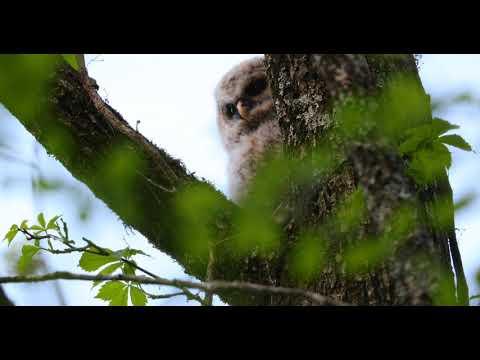 Baby Barred Owl 4 17 2018