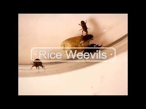 An Introduction to the Rice weevil (Sitophilus oryzae)