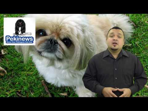 Discover 6 Signs That Tell You If Your Pekingese Dog Is Happy - Make Your Pekingese Dog Happier!