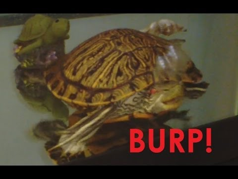 Turtle Burp!  Red Eared Slider Burping and Begging.  The Beggy Dance!