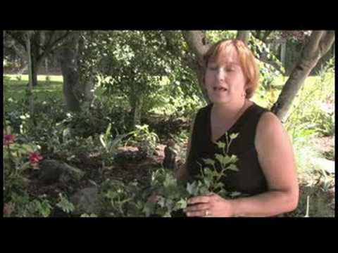 Gardening Tips : How to Grow Ivy