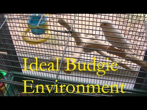 Ideal Budgie Environment and How to Keep It Clean