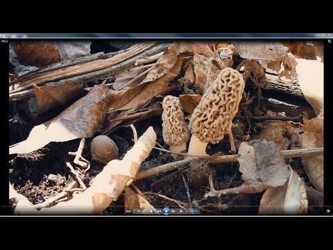Way Early Morel Mushrooms 2017 / Kansas City Missouri USA