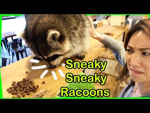 Raccoon Cafe: World's Most Wanted