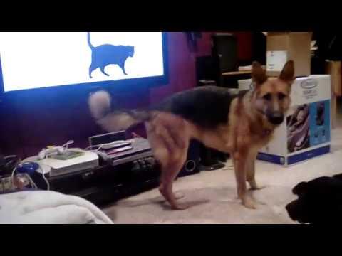 Funny dog barking at TV cats.