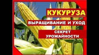 Секреты выращивания КУКУРУЗЫ/ Как выращивать кукурузу в Сибири. Кукуруза на даче: посадка и уход