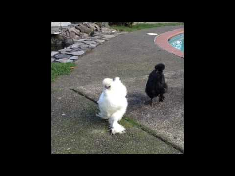 SIlly Silkie Chickens Running